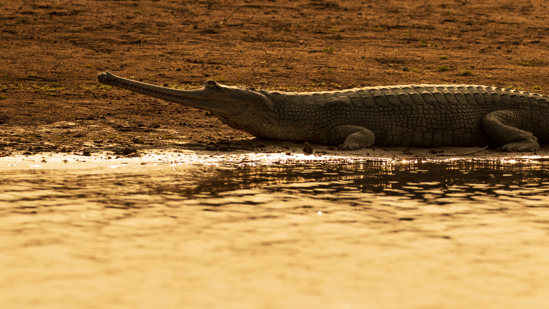 Gharial (Gavialis gangeticus), Chambal River, India