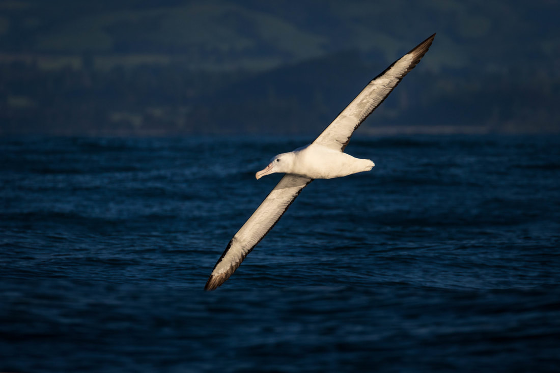 Northern royal albatross (Diomedea sanfordi), Kaikoura, New Zealand